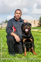 Male Rottweiler Vulcano Of Royal Musketeers Nivekrottweilers.com