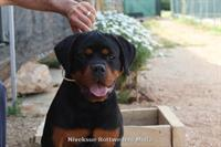 Young Female - Nivekrottweilers.com Rottweilers Malta