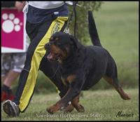 Stud Dogs Ch Noris vom Hause Edelstein Nivekrottweilers.com