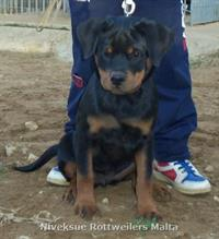 Sold Dogs - Nivekrottweilers.com Rottweilers Malta